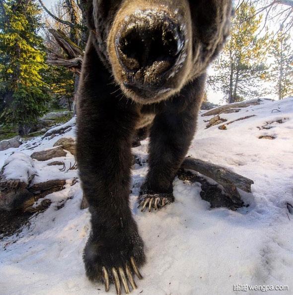 美国蒙大纳州大灰熊 你看它的爪子