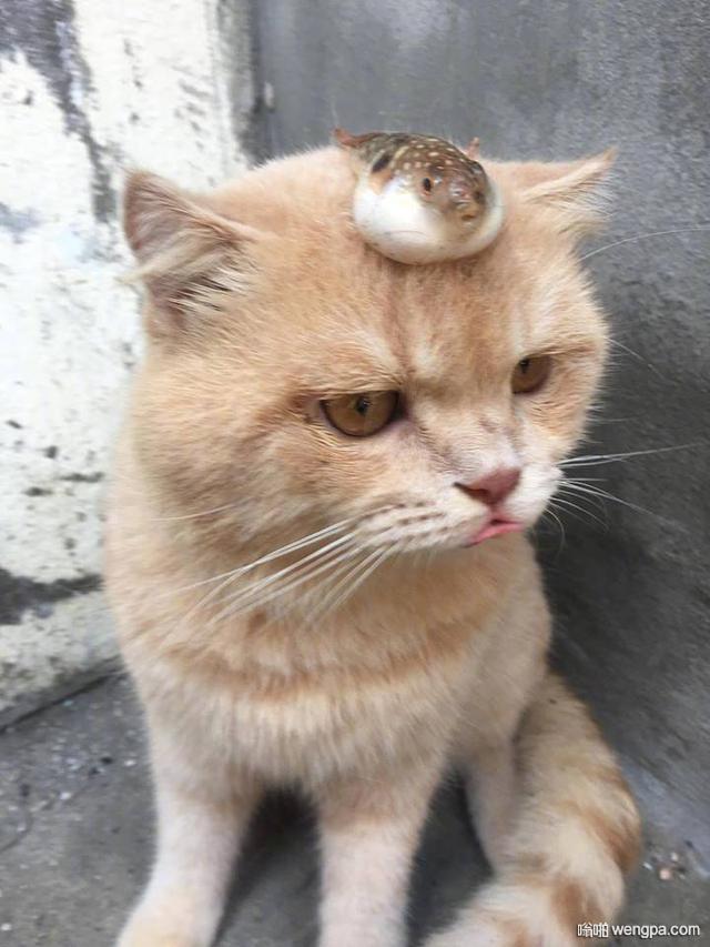 网红猫被主人放了条河豚在头上,立刻定住,嘴和河豚同步鼓