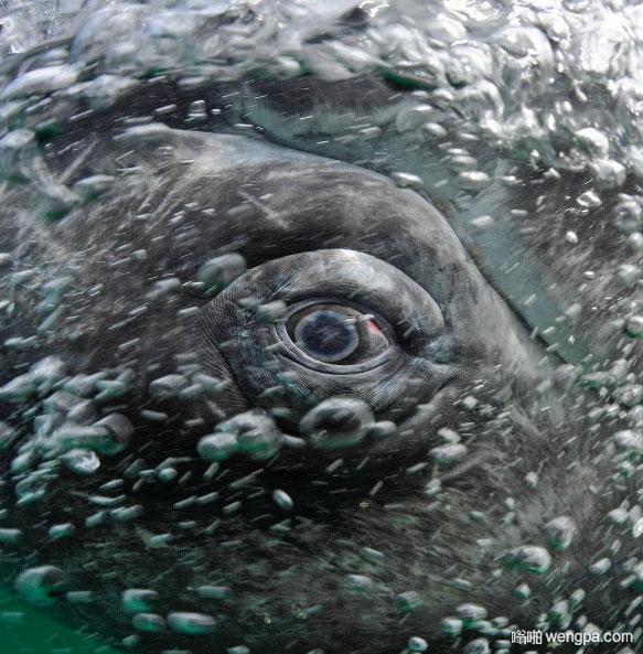 【鲸鱼之眼】动物王国最传神的眼睛 - 嗡啪网