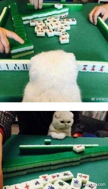 【可爱猫咪看打麻将】一只喜欢看打麻将的猫  - 嗡啪网