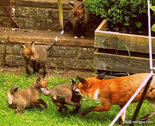 一觉醒来发现不知从哪儿来的小狐狸在院子里玩耍