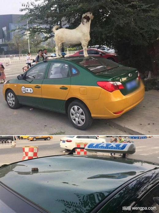 山羊踩出租车吃树叶 司机浑然不知