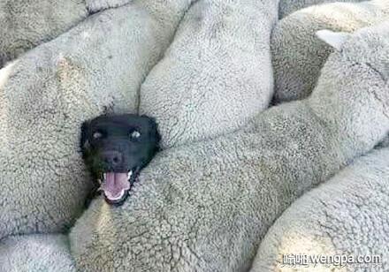 牧羊犬挤在绵阳中间