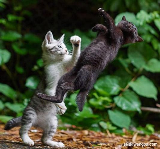 小猫勾拳 小猫可爱萌宠搞笑图片 - 嗡啪网