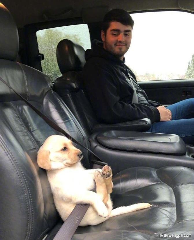 狗狗坐车系安全带搞笑图片 搞笑狗狗图片 - 嗡啪网