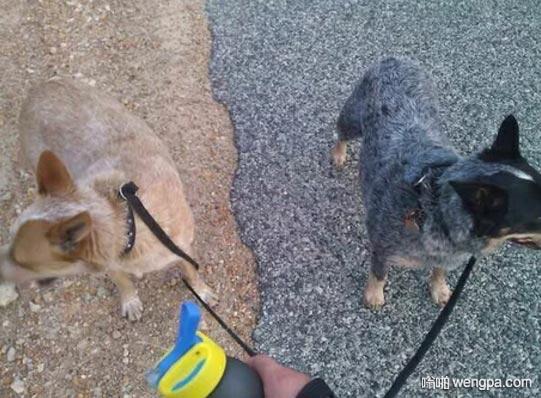 狗狗匹配道路 狗狗跟路面颜色一样 狗狗搞笑图片 - 嗡啪网