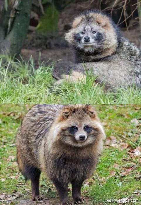 浣熊和狗的合体 像浣熊又像狗的动物