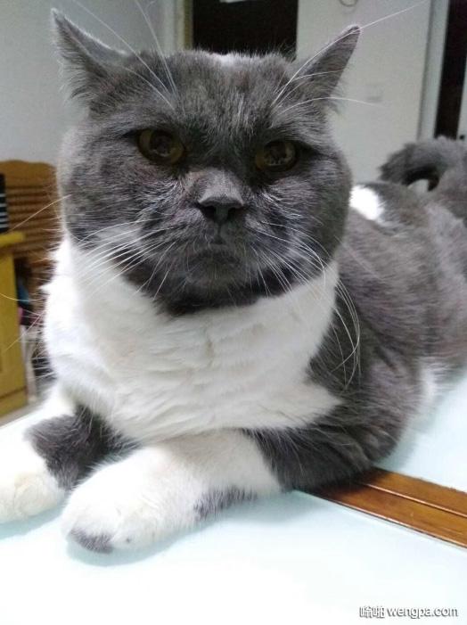 【搞笑猫表情】长得像人一样猫 深邃的眼神好逗啊 - 嗡啪网