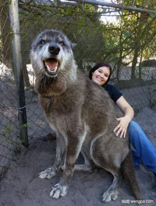 DNA检测结果显示,87.5%灰狼,8.6%西伯利亚雪橇犬和3.9%德国牧羊犬