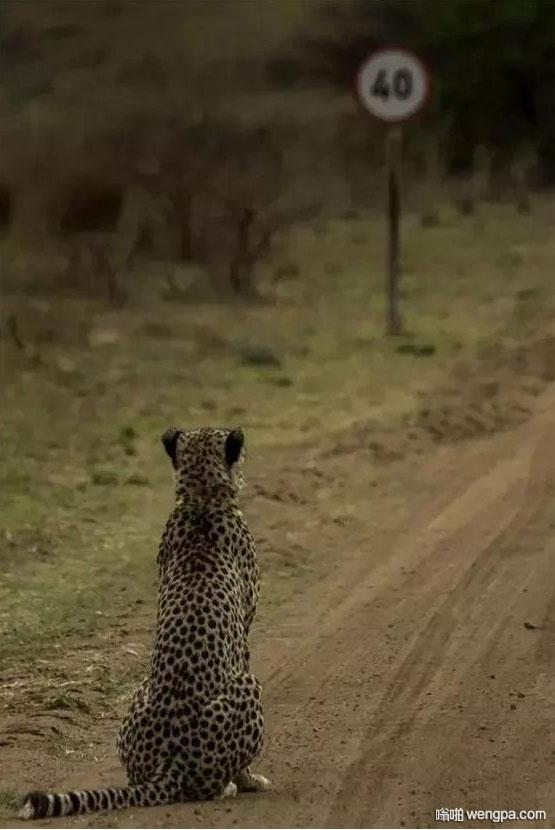 看了限速提示 猎豹陷入了沉思