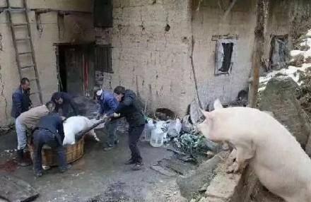 【笑话】舅舅家杀猪,可是没有人会杀