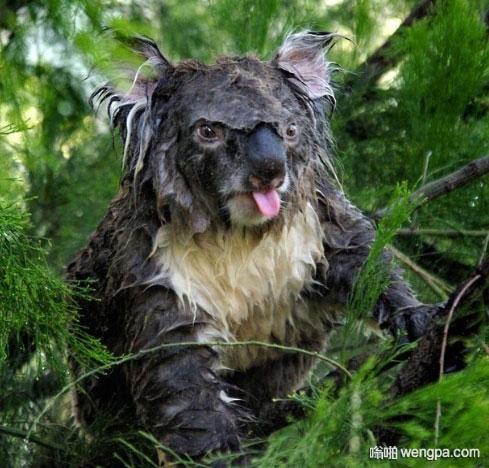 【搞笑图片】一只经历过风雨的考拉 - 嗡啪网