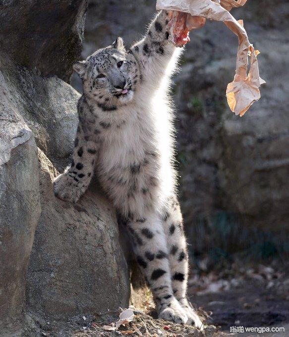 雪豹大猫的小时候看上去总是智商不在线的亚子(5p)
