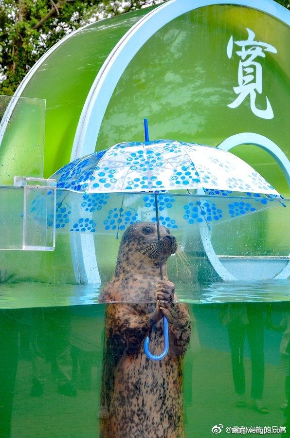 香川县的水族馆中 一只撑着伞的海豹