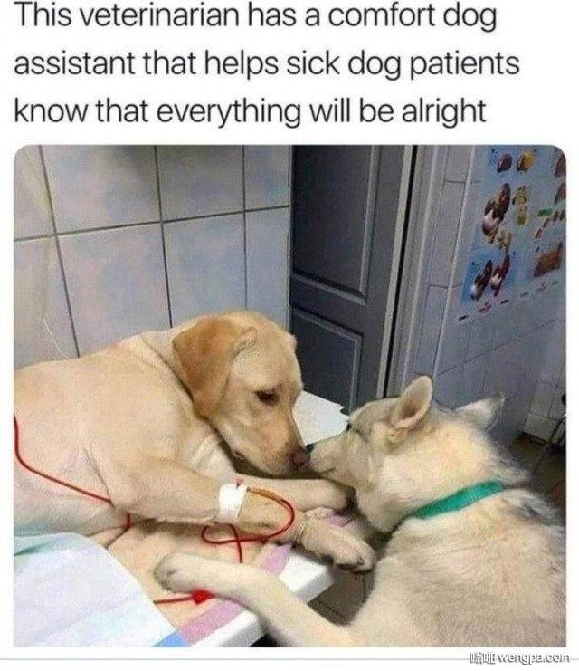 兽医那里有只安慰犬 工作是安慰病狗狗们 告诉他们事情都会好起来的