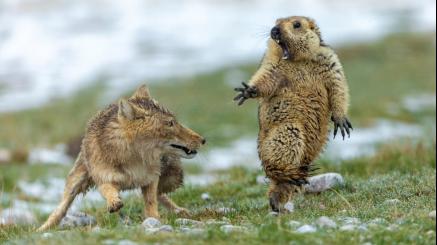 """土拨鼠与藏狐""""生死对决"""""""