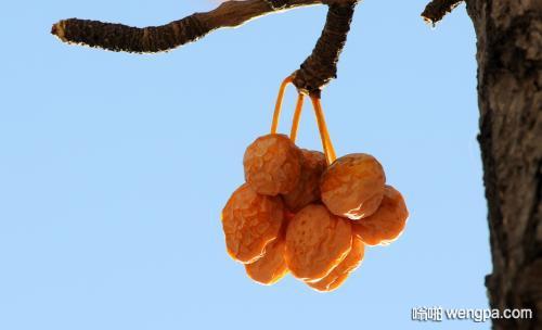 【搞笑段子】我想吃一颗自己种的银杏果!