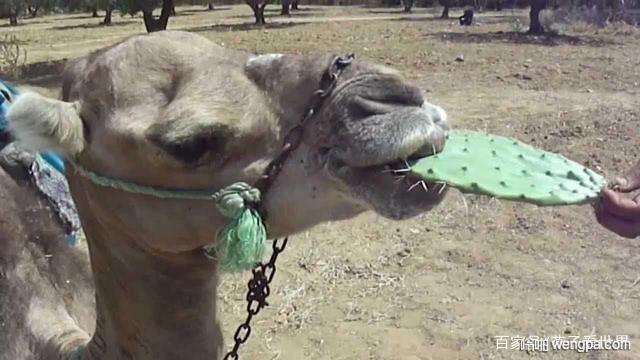 【搞笑段子】沙漠里 骆驼问仙人掌 你在做什么呢