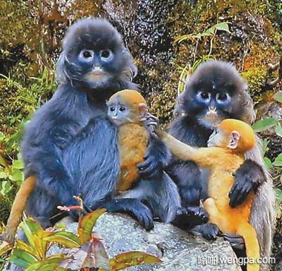 两只成年菲氏叶猴怀抱幼崽