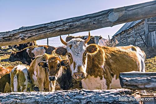 【搞笑段子】班花说家里卖了头牛来上大学 我们一听 心里都有些不忍