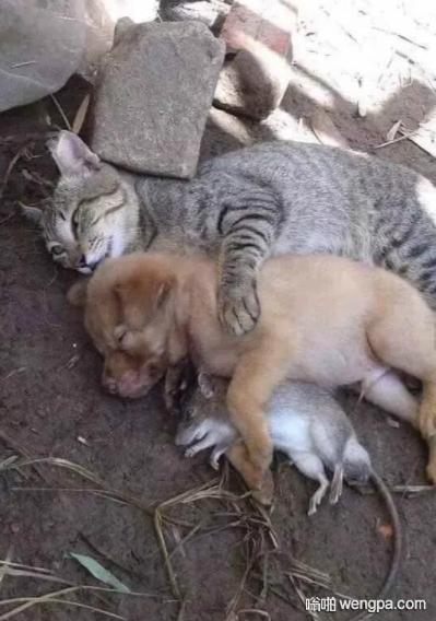 【搞笑图片】猫狗老鼠抱着睡觉