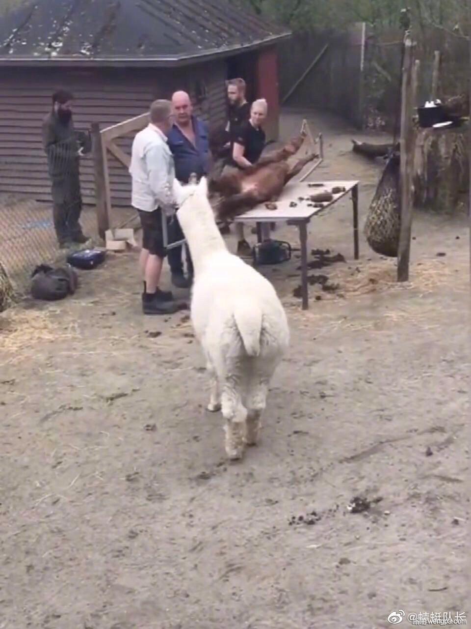 好奇心重的羊驼,喜欢凑热闹,结果,哈哈