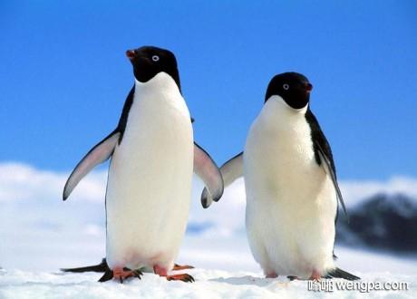 【笑话】为什么企鹅的肚子是白色的