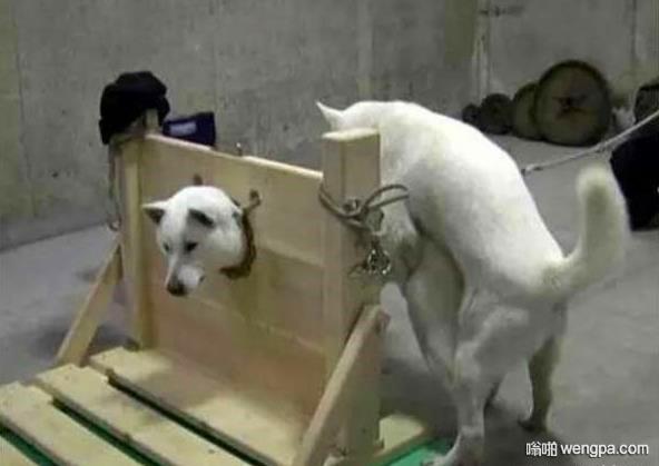 【搞笑狗狗图片】什么叫称狗之危