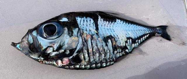 日本渔民捕获谜之深海怪鱼:可怕又美丽
