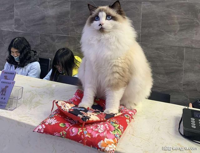 """布偶:""""哼!都说了,我才是最好的招财猫。"""""""