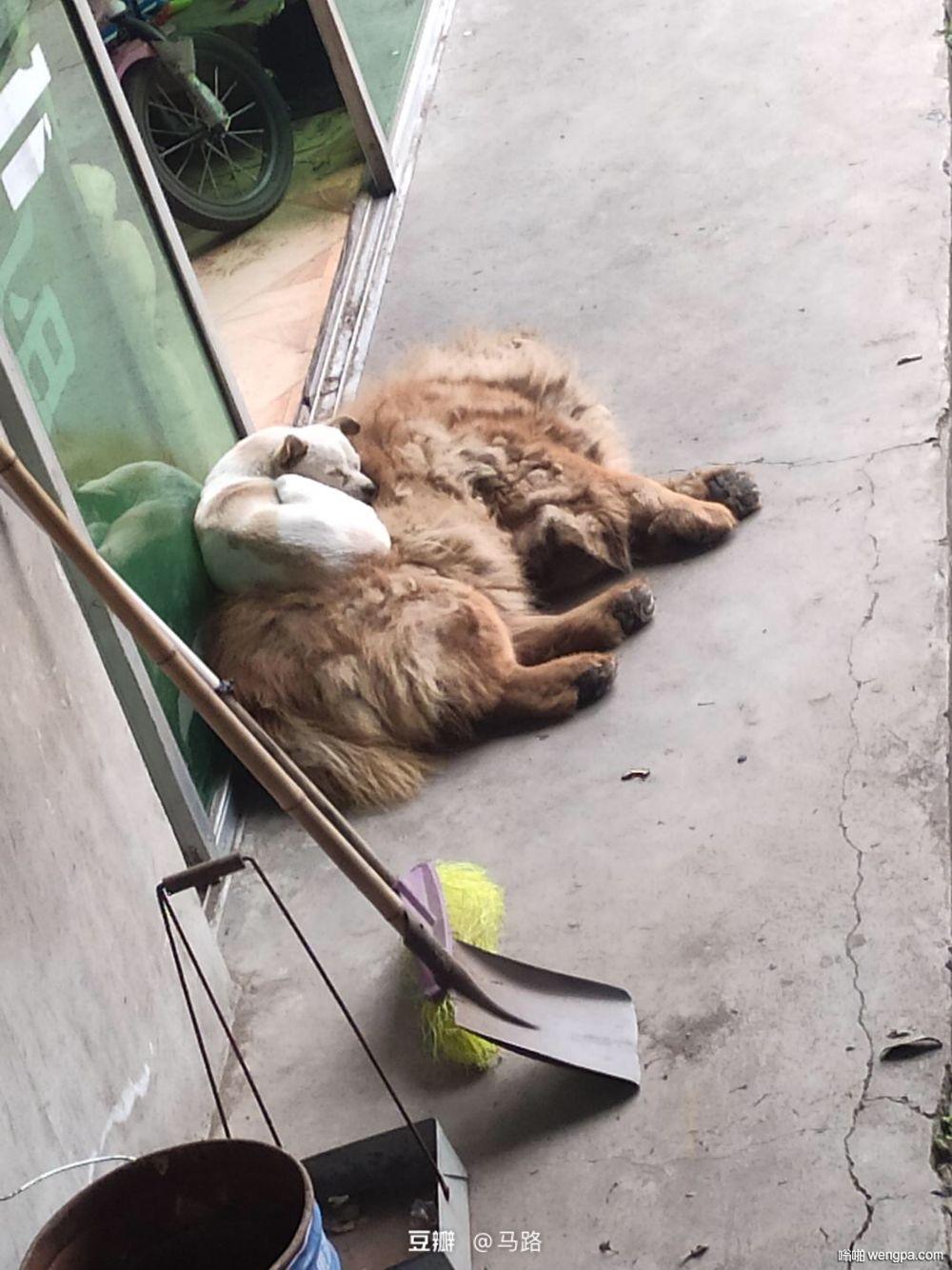 【狗狗搞笑图片】小白有一个毛茸茸的毯子