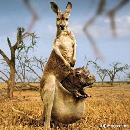 【搞笑段子】为什么袋鼠的肚子前面有个袋子