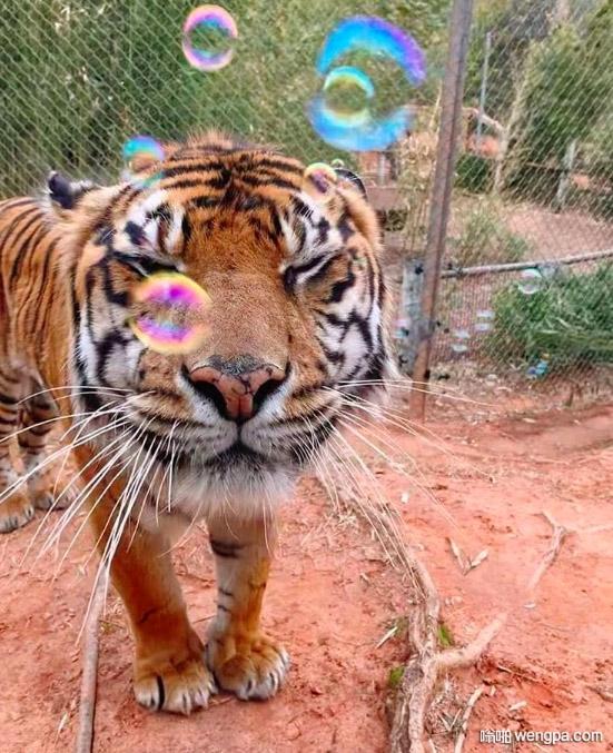 这么可爱的老虎 你想养一只吗