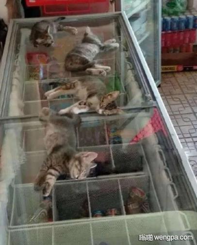 【搞笑猫咪】猫咪是一种金贵的物种 夏天怕热 冬天怕冷
