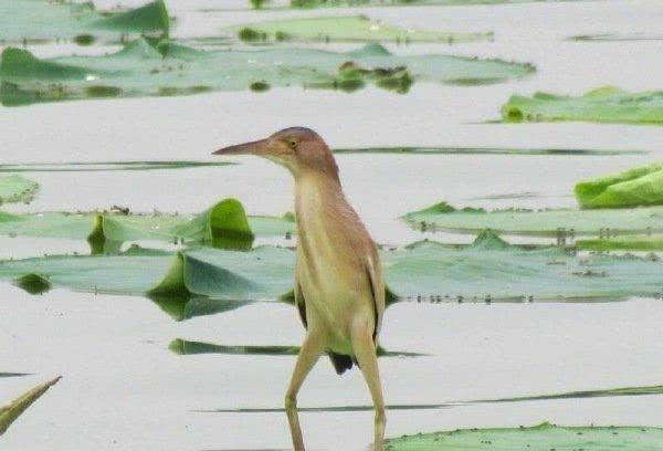 搞笑图片这只水鸟的腿看起来那么不正经啊