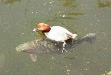 快,游快点,追上前面那只鸭
