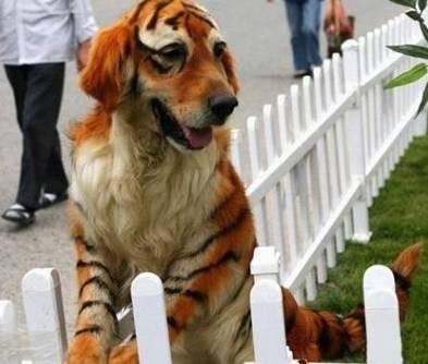 染发的狗狗恶搞动物图片精选